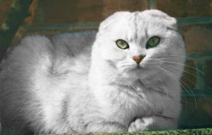 scottish-fold-0007