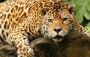 3784555-a-photo-of-a-male-jaguar-panthera-onca