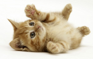 Ginger domestic kitten (Felis catus) rolling on back playing